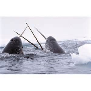 Narwhal Whale