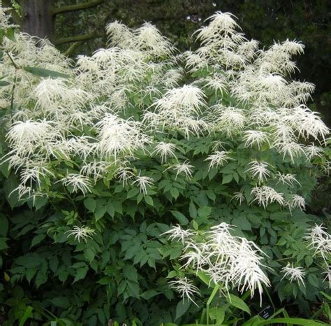 list of hardy perennial flowers 4 6foot tall goat s beard shade plant aruncus dioicus hardy perennial flowers shade plants