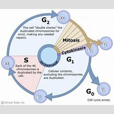 Chapter 11 The Cell Cycle  Biology Bisc 1111 With Adams At George Washington University