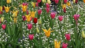 Tulpen Im Garten : hd hintergrundbilder bl te garten tulpen gelb rosa rot ~ A.2002-acura-tl-radio.info Haus und Dekorationen