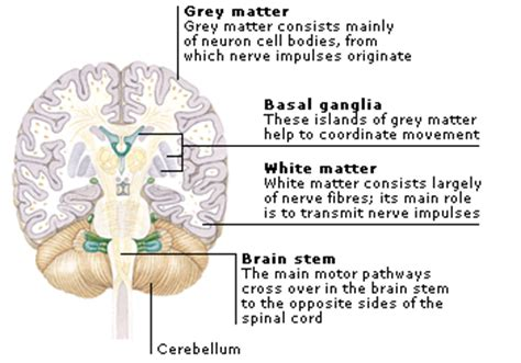 the white matter of the cerebellum forms the 1 brain anatomy btt sose 2017 tum wiki