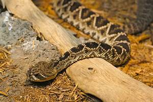 File Eastern Diamondback Rattlesnake 3 Jpg