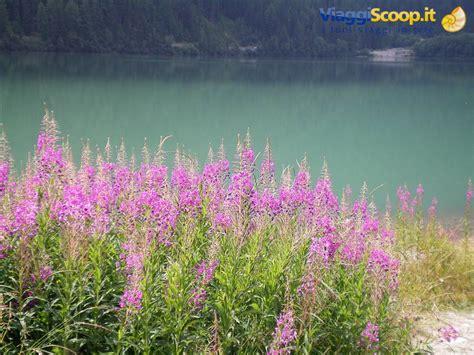 fiori in italia foto fiori montani italia