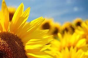 Warum Sind Pflanzen Grün : warum sich sonnenblumen immer zur sonne wenden gel st ~ Markanthonyermac.com Haus und Dekorationen