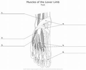 18 Best Images Of Leg Anatomy Worksheets