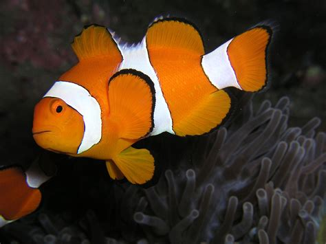 amphiprion ocellaris wikispecies
