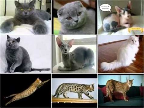 list of cat breeds most expensive cat breeds in the world 2016 funnycat tv