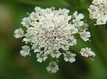 Oenanthe lachenalii - Parsley Water-dropwort (Apiaceae Images)