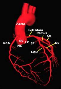 Heart Diagram Coronary Arteries Ramus