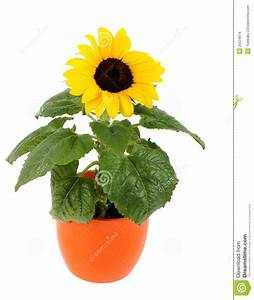 Small sunflower in a pot stock photo. Image of natural ...