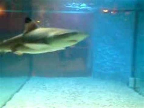 baby shark in fish tank