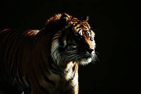 wild cat dark background tiger hd wallpaper