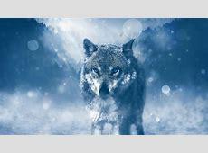Wolf With Blue Eyes 5K UltraHD Wallpaper Wallpaper