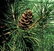 FORESTRY - LEARNING: DEFINITION GYMNOSPERM