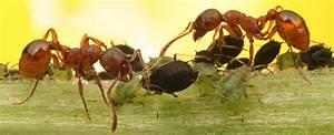 Ameisen In Der Wand : blattschneider ameisen brasilienportal ~ Frokenaadalensverden.com Haus und Dekorationen
