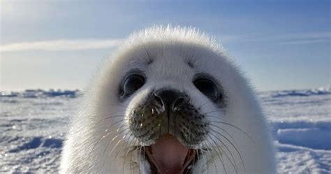 nasir hamzah gambar anak anjing laut tersenyum manis