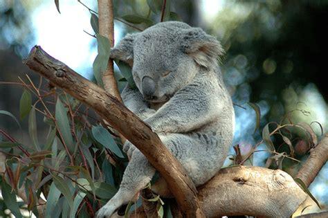 cute koala bear sleeping fun kids  uks