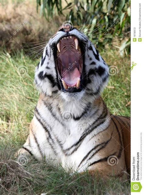 tiger teeth stock photography image