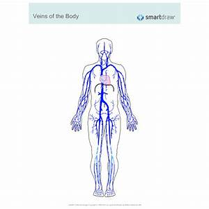 Veins Of The Body