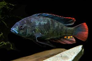 A male Paralabidochromis chromogynos is shown above. Note ...