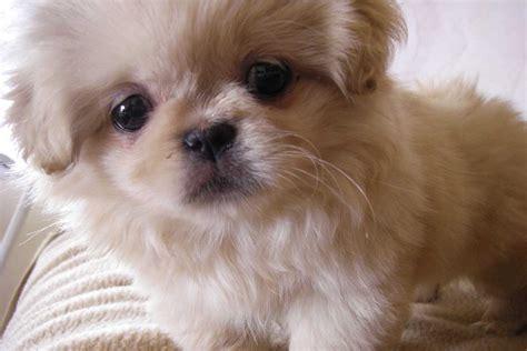 Pekingese Puppies For Sale  Dog Bazar