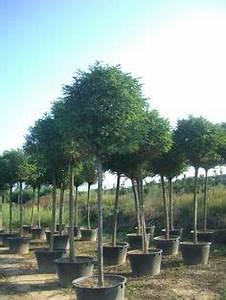 Baum Vorgarten Immergrün : robinia pseudoacacia 39 umbraculifera 39 kugel robinie ~ Michelbontemps.com Haus und Dekorationen