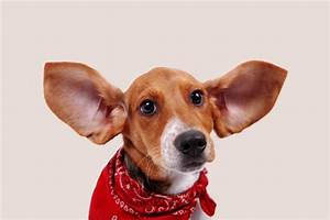 Keeping Your Dog's Ears Clean