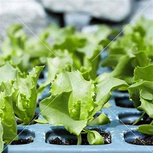Young lettuce plants (iceberg lettuce) – buy images ...