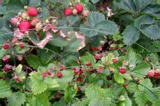 erdbeeren remontierende sorten erdbeersorten gardora at