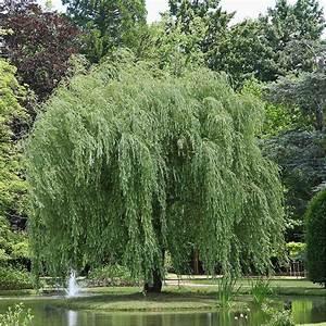 Taille Du Saule Pleureur : saule pleureur pot de 15 litres hauteur 200 250cm gamm vert ~ Melissatoandfro.com Idées de Décoration