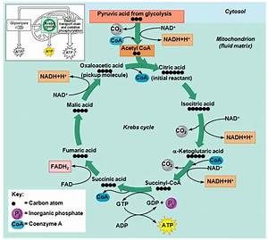 25 Best Images About The Krebs Cycle On Pinterest