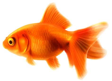 Fancy Goldfish Clipart  Bbcpersian7 Collections