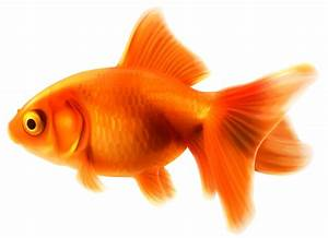 Fancy goldfish clipart - BBCpersian7 collections