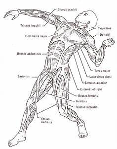 Human Muscles Drawing At Getdrawings