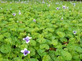 Purple Flowers Ground Cover Plants