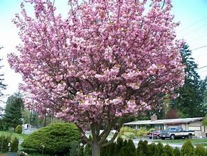 Grafting Cherry Trees