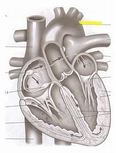 Heart Diagram Flashcards