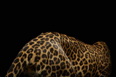 vincent j musi photographs | big-cats | 10