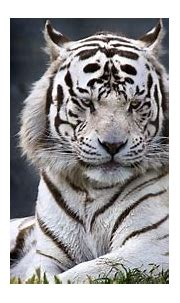 White Tiger Background Awesome White Tiger Wallpapers Hd ...
