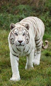 25 Best White Tiger Photographic | White tiger, White ...