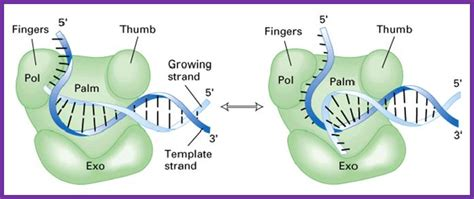 The Enzyme Uses Atp To Unwin Dna Template by Mechanism Of Replication