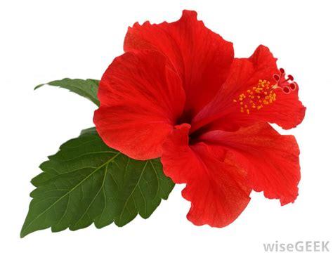 Types of Hawaiian Flowers Hibiscus