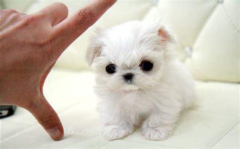 cute maltese puppies  sale pictures litle pups