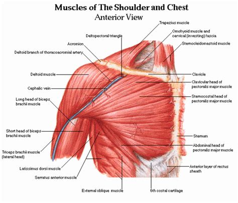 Related posts of shoulder muscles and tendons diagram muscle anatomy knee. Shoulder muscles and chest - human anatomy diagram PDF