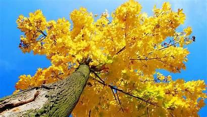 Yellow Tree Maple Autumn Trees Wallpapers Aesthetic