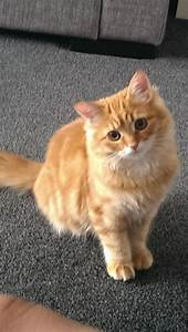 Ginger Persian Kitten is LOST MISSING Pudsey Leeds ...