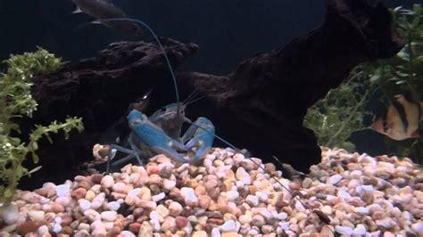 fresh water aquarium community fish tank  liters youtube