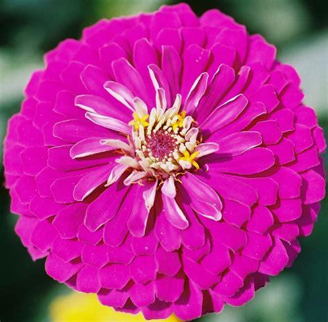 roses   seasons zinnia  cinderella flower