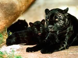 Black Panther Animal Family
