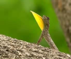 Flying Draco Lizard